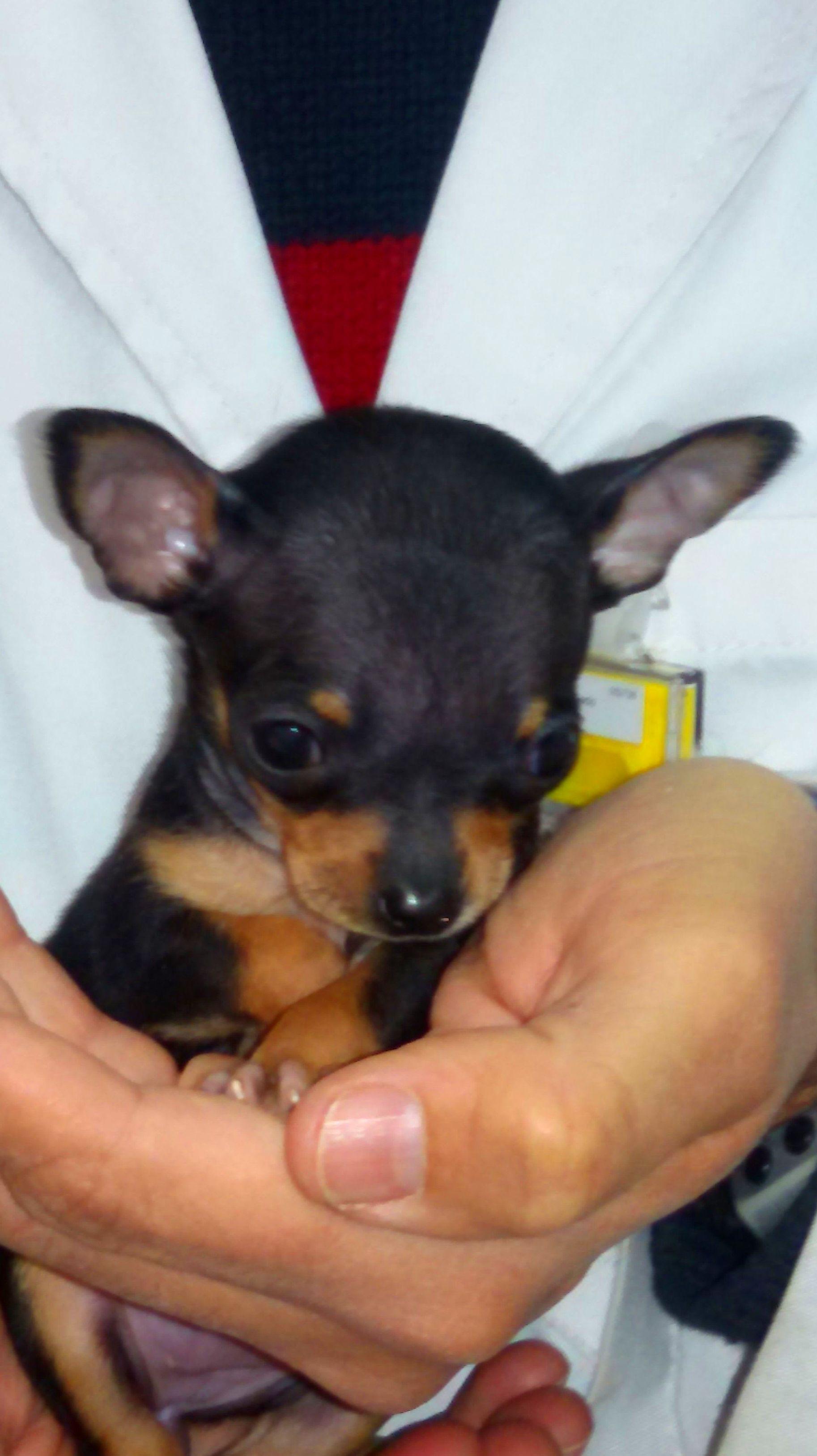 Cachorrito de chihuahua