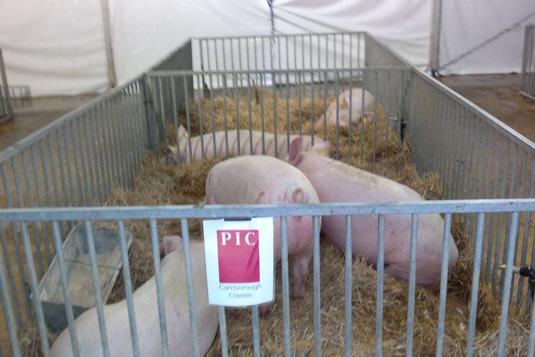 Desinsectación de cerdos