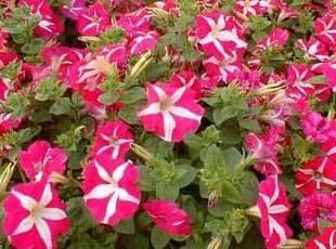 Petunia hybrida Ct. 0,54 L: Productos y servicios de El Abeto
