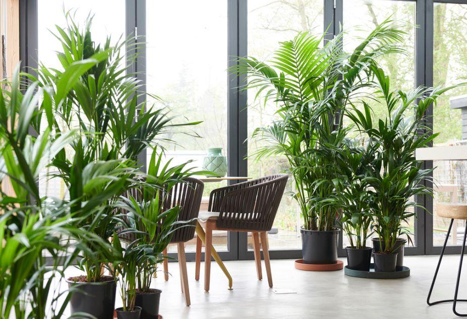 Kentia, planta para nuestro hogar: Productos y servicios de El Abeto