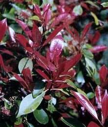 Photynia Petit Red robin Ct. 5 L: Productos y servicios de El Abeto