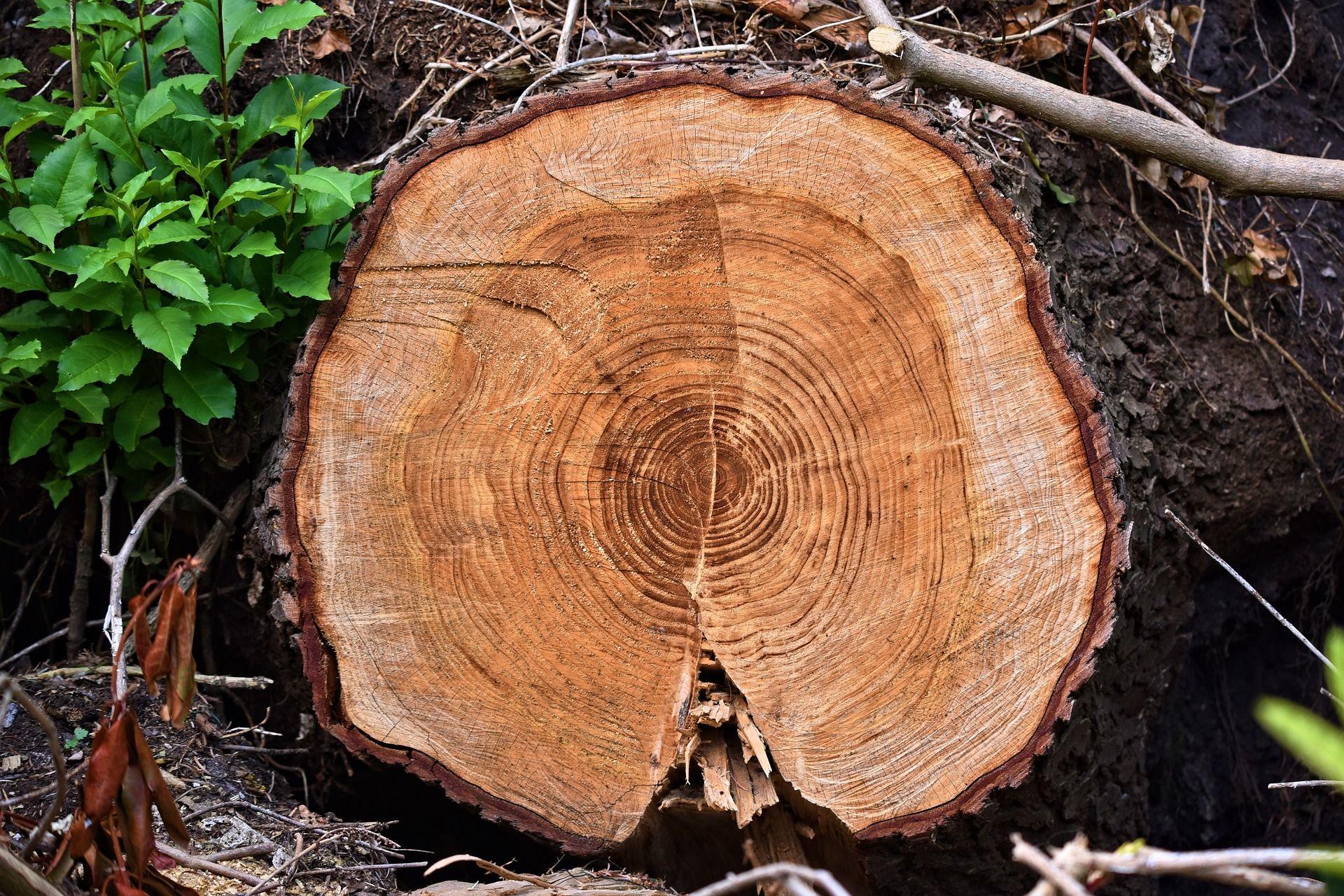 Destocado de árboles