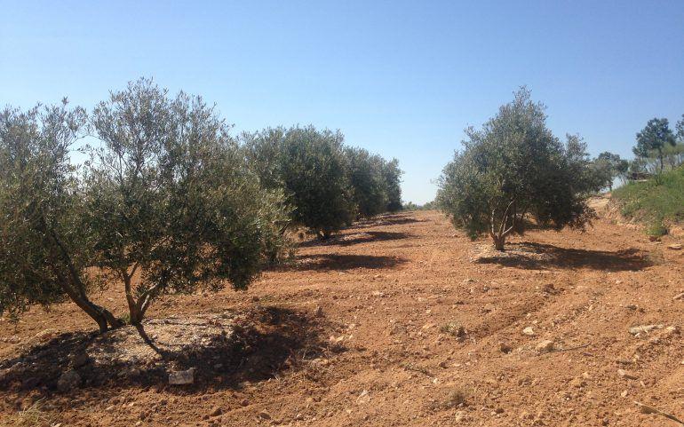 Venta de olivar joven 256 olivos: Inmuebles de ANTONIO ARAGONÉS DÍAZ PAVÓN