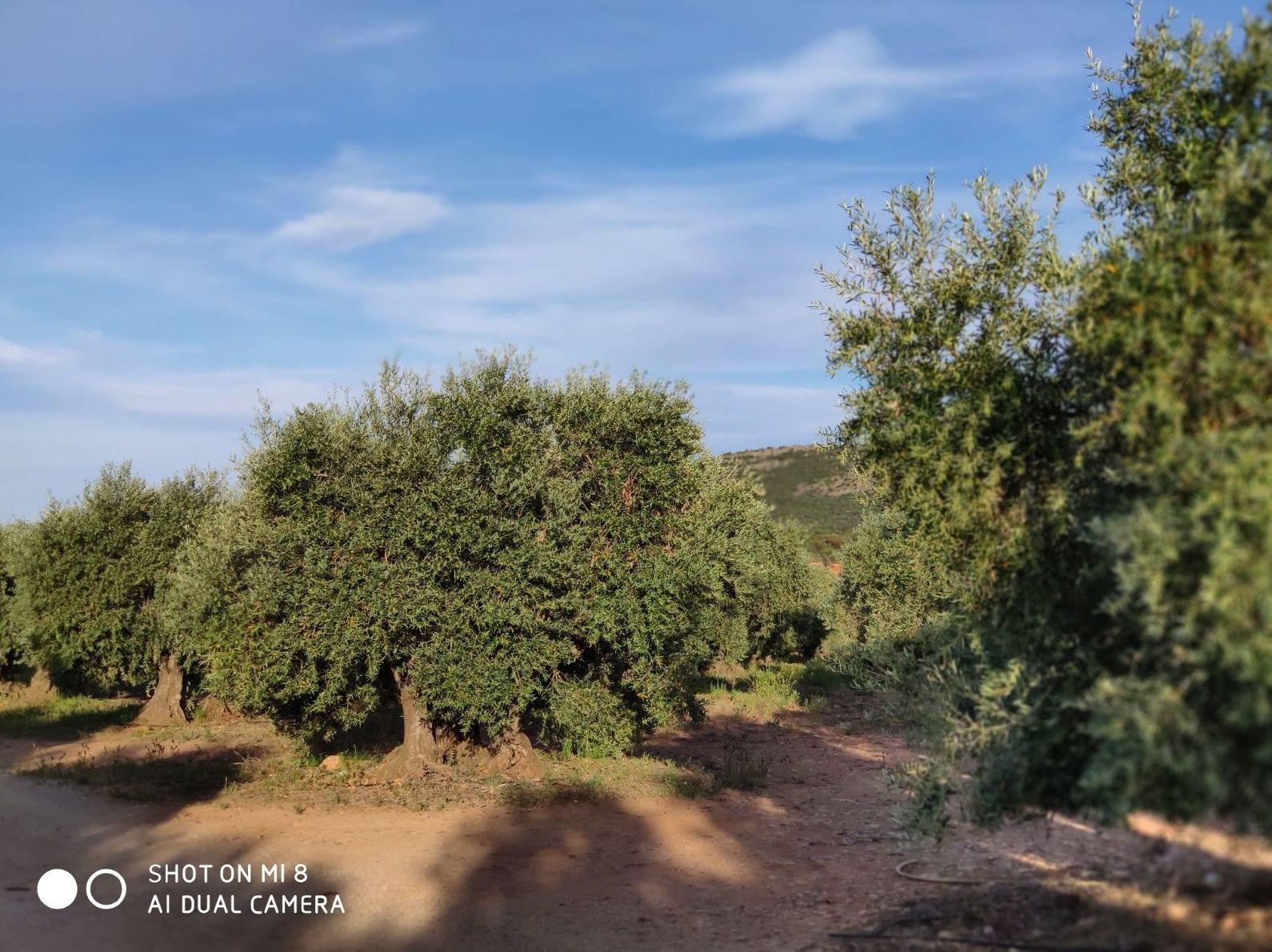 Espectacular olivar en Herencia: Inmuebles de ANTONIO ARAGONÉS DÍAZ PAVÓN