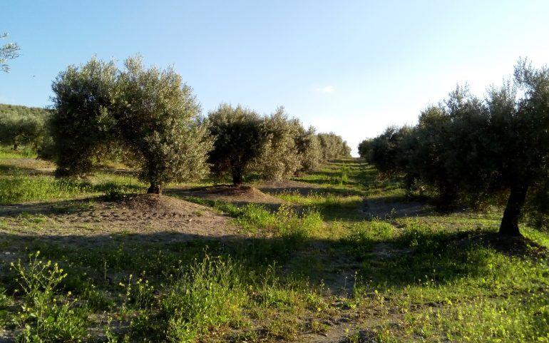 Venta de finca de olivos más almazara: Inmuebles de Inmobiliaria Minerva