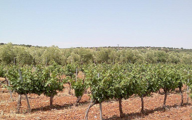 Venta de viña en espaldera en Campo de Criptana: Inmuebles de ANTONIO ARAGONÉS DÍAZ PAVÓN