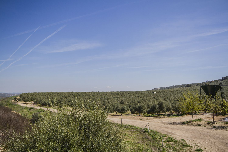 Vista de nuestro olivar en Jaén
