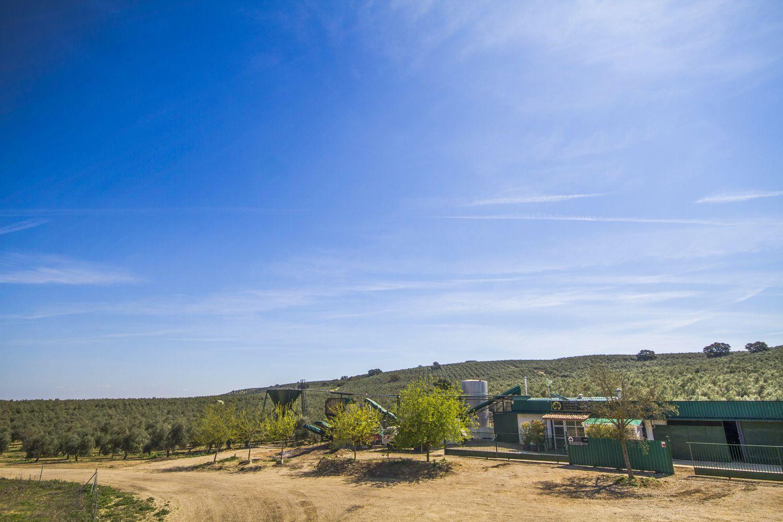 Contamos con una moderna plantación de olivar en Jaén