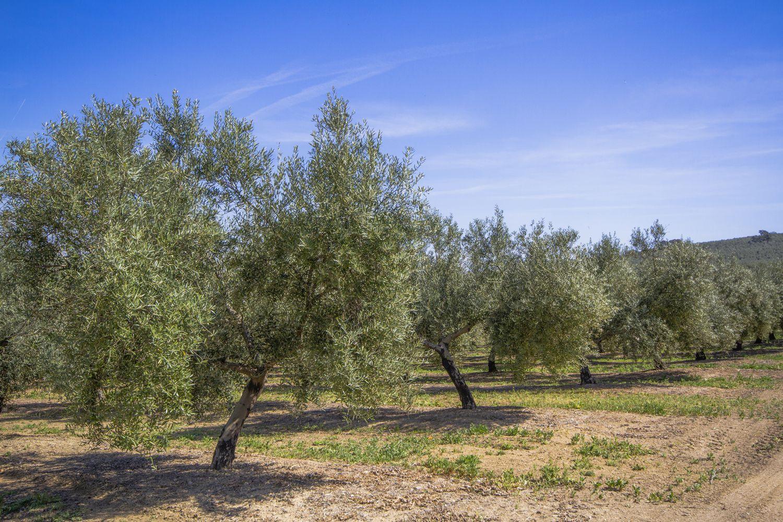 Plantación de olivar de cultivo intensivo