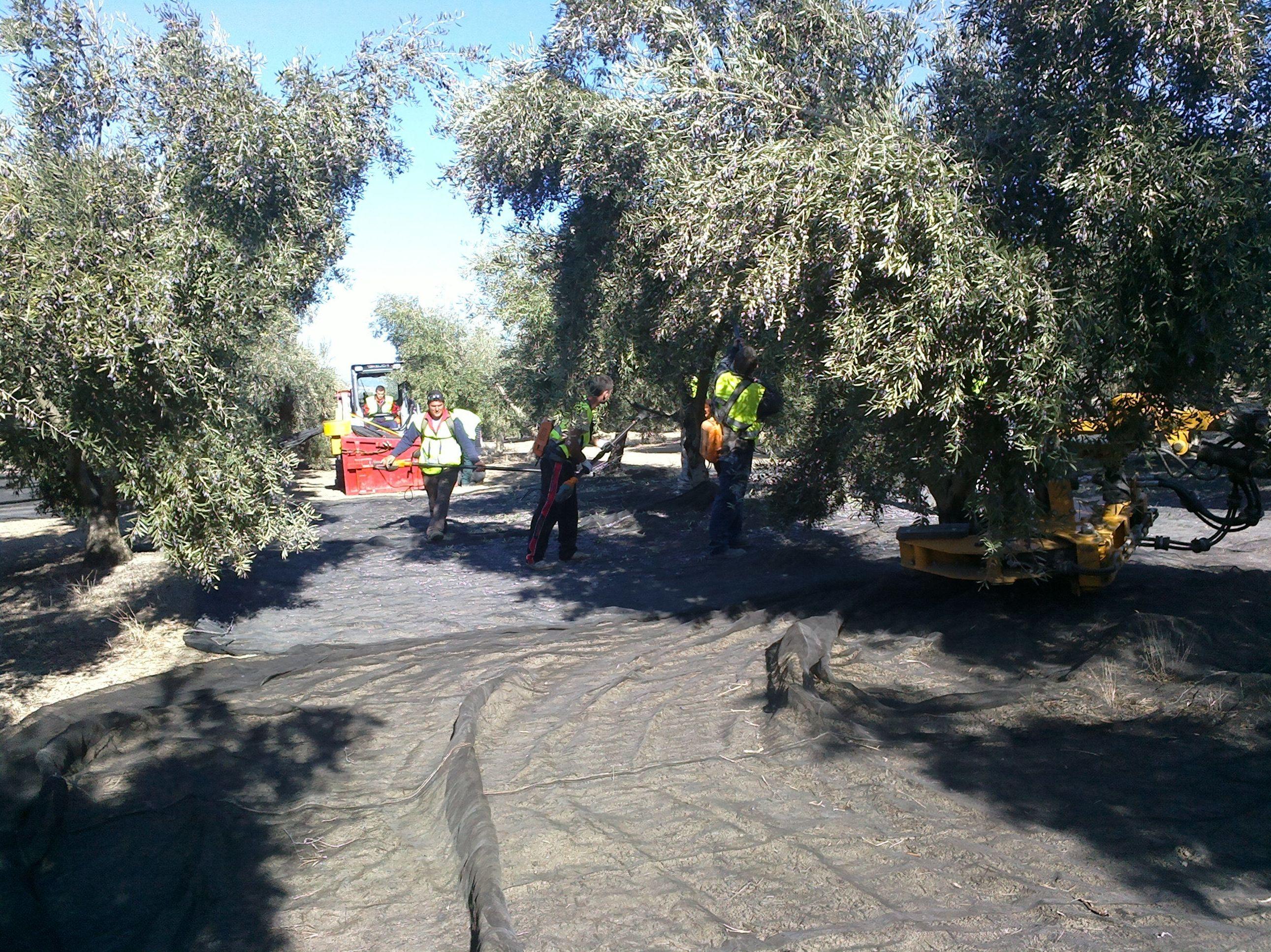 Producción propia de aceite de olilva