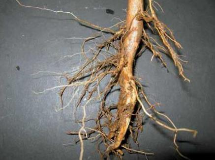 Análisis nematologico de raíces: Nuestros servicios    de Indica Sur SL