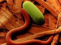 Análisis nematológico de suelo: Nuestros servicios    de Indica Sur SL