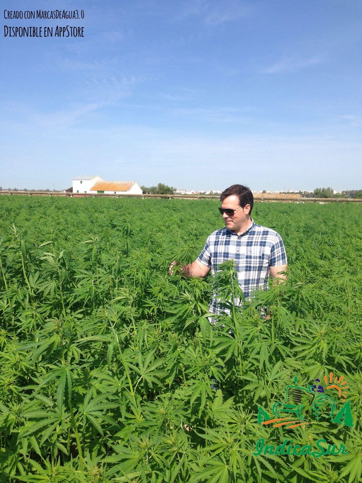 Cultivo de cañamo industrial en la vega del guadalquivir con 36 días desde la siembra.