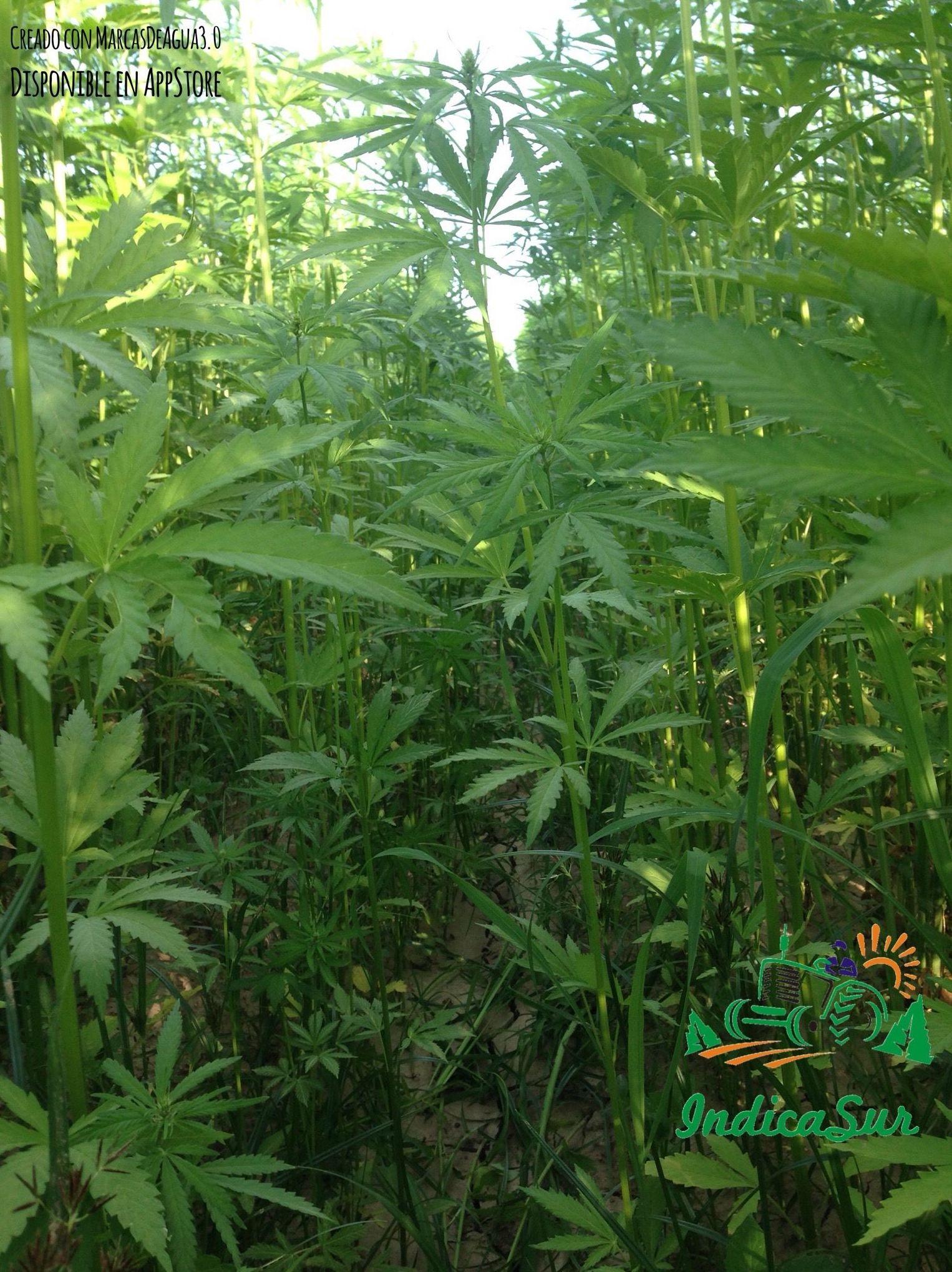 IndicaSur desarrolla los cultivos en la vega del Guadalquivir.