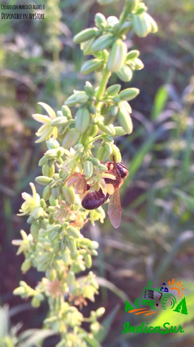 La planta que las le gusta a las abejas