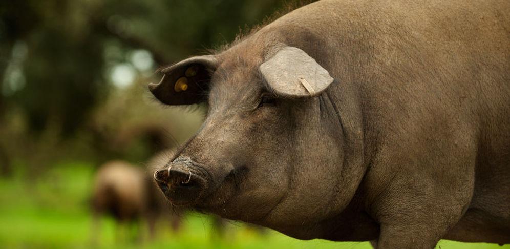Análisis de ácidos grasos en cerdo: Servicios de Laboratorio Rosso Consultoría y Análisis