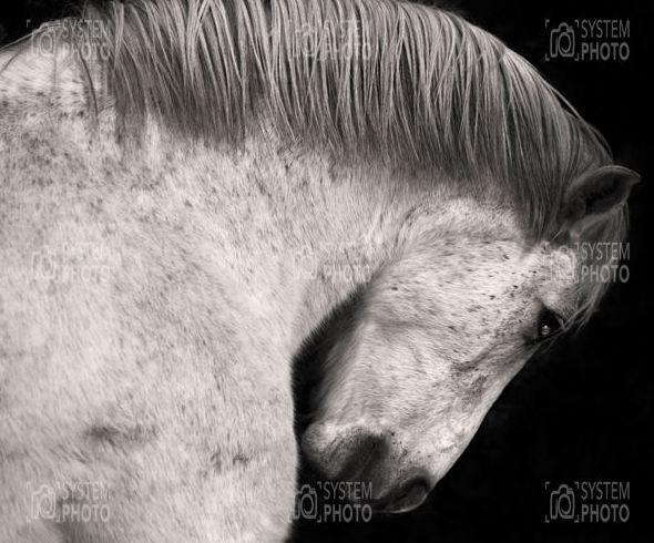 Cavall