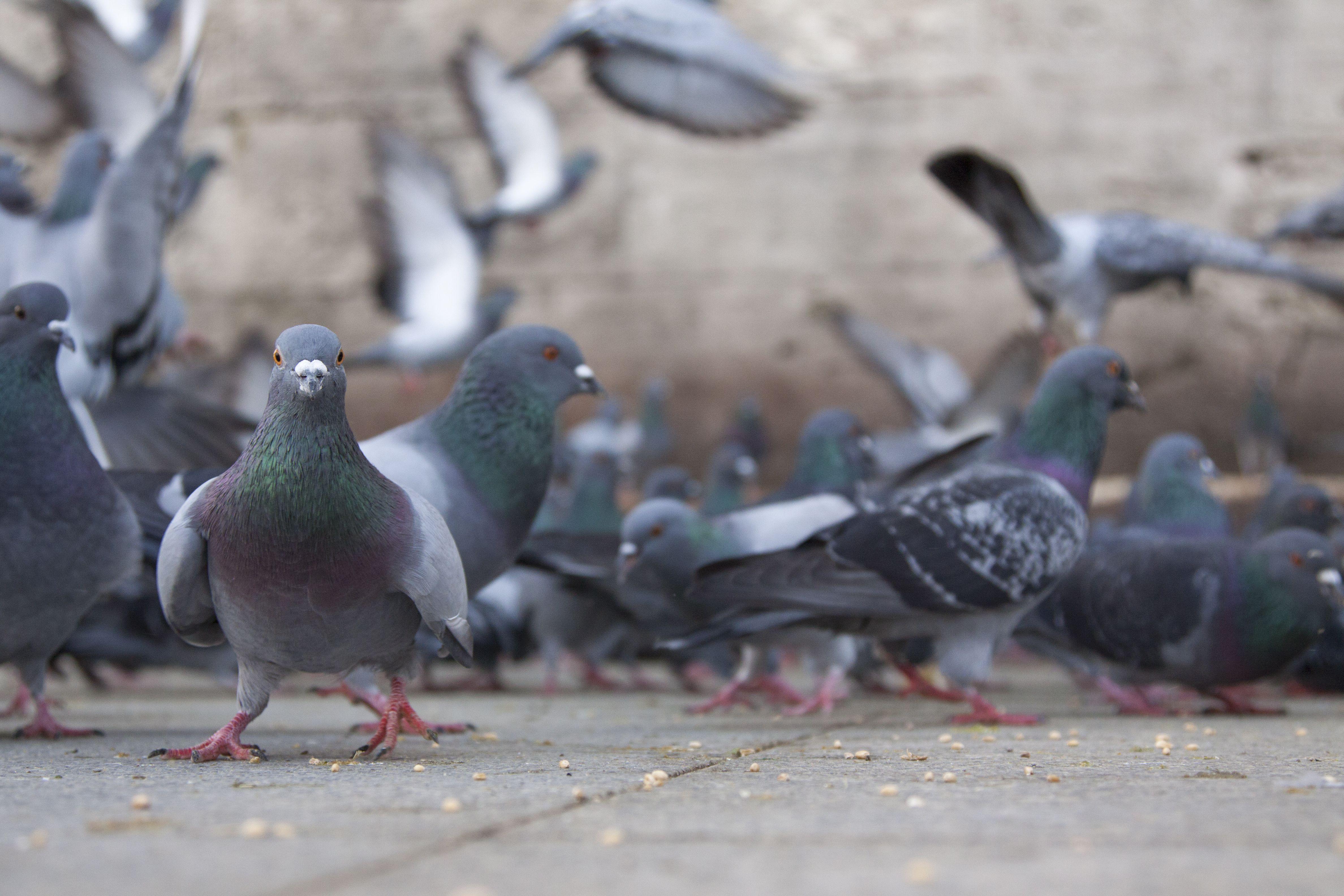 Control de palomas en Castellón de la Plana