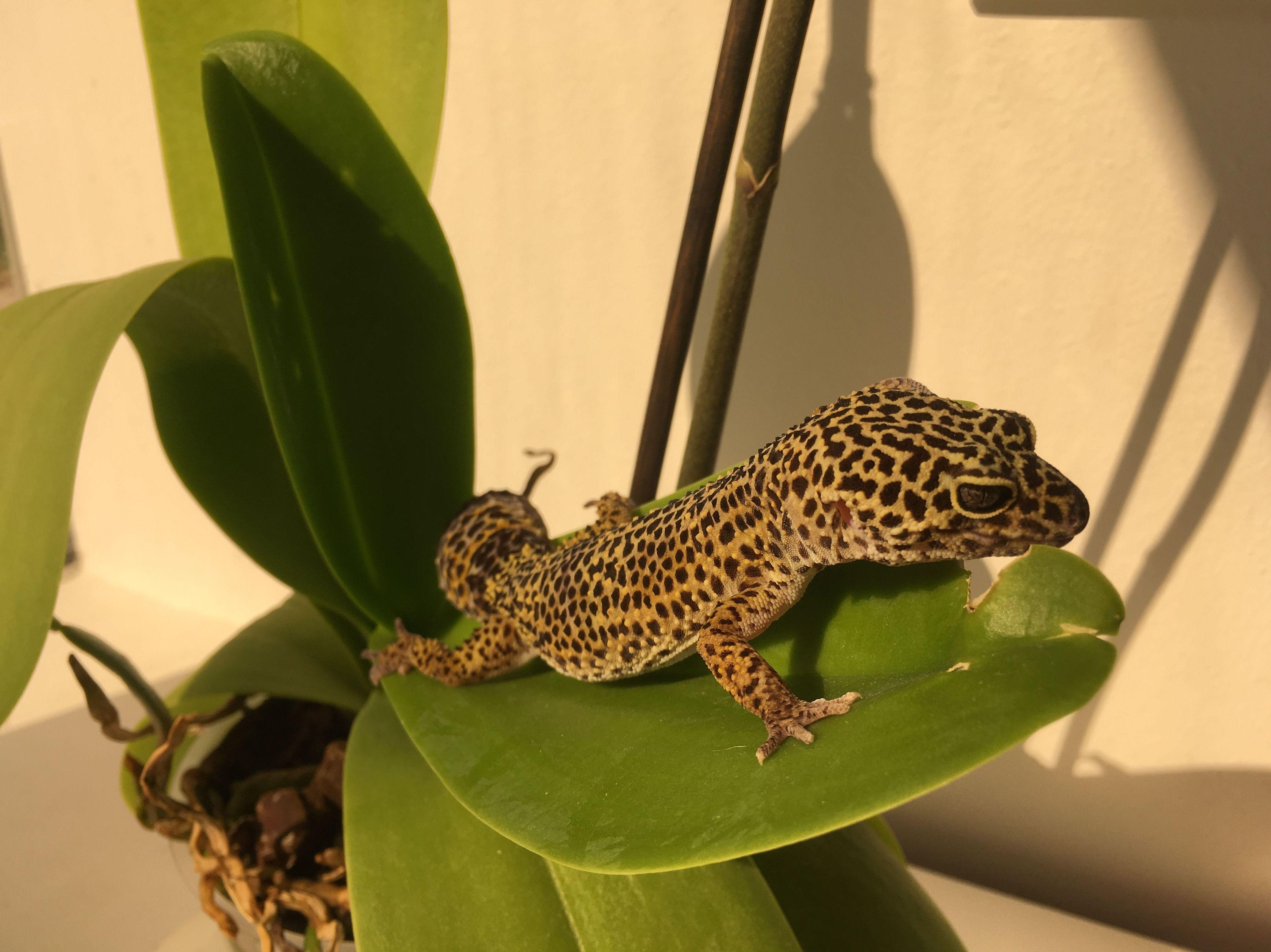 Visita de Gecko leopardo.