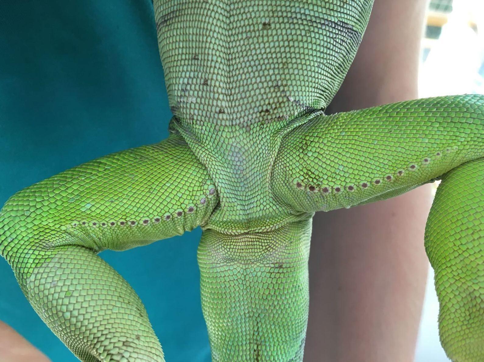 Poros femorales de una Iguana verde macho (Iguana iguana)