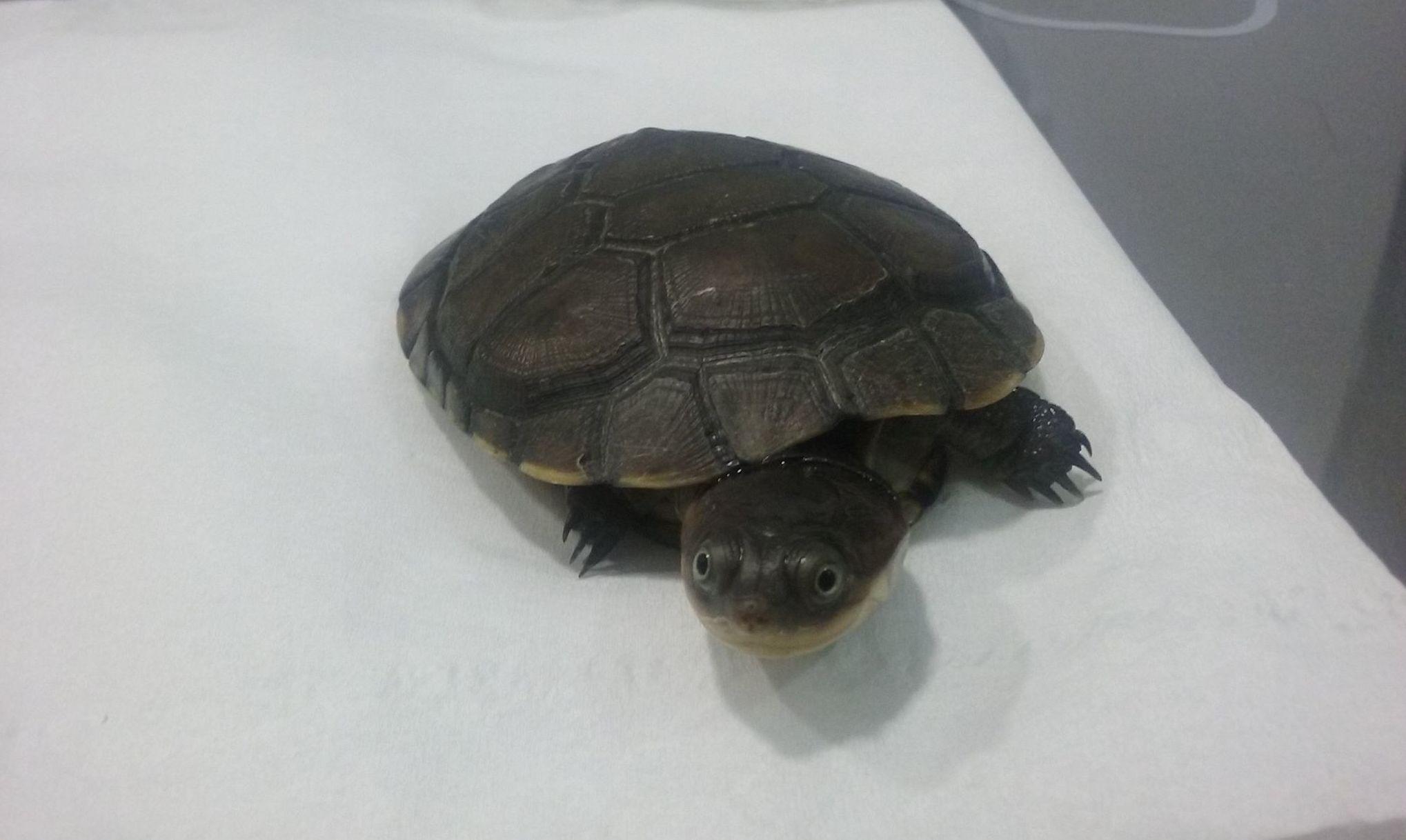 Visita de Tortuga China