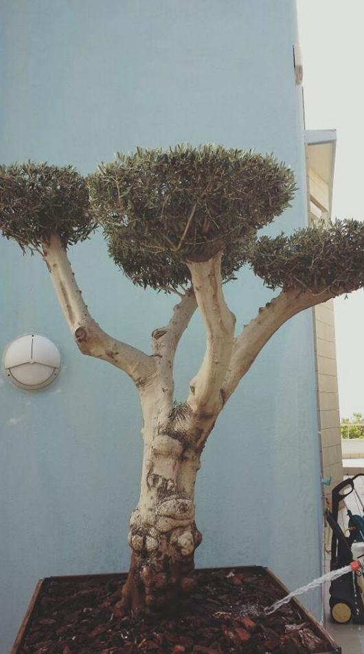 Árboles decorativos