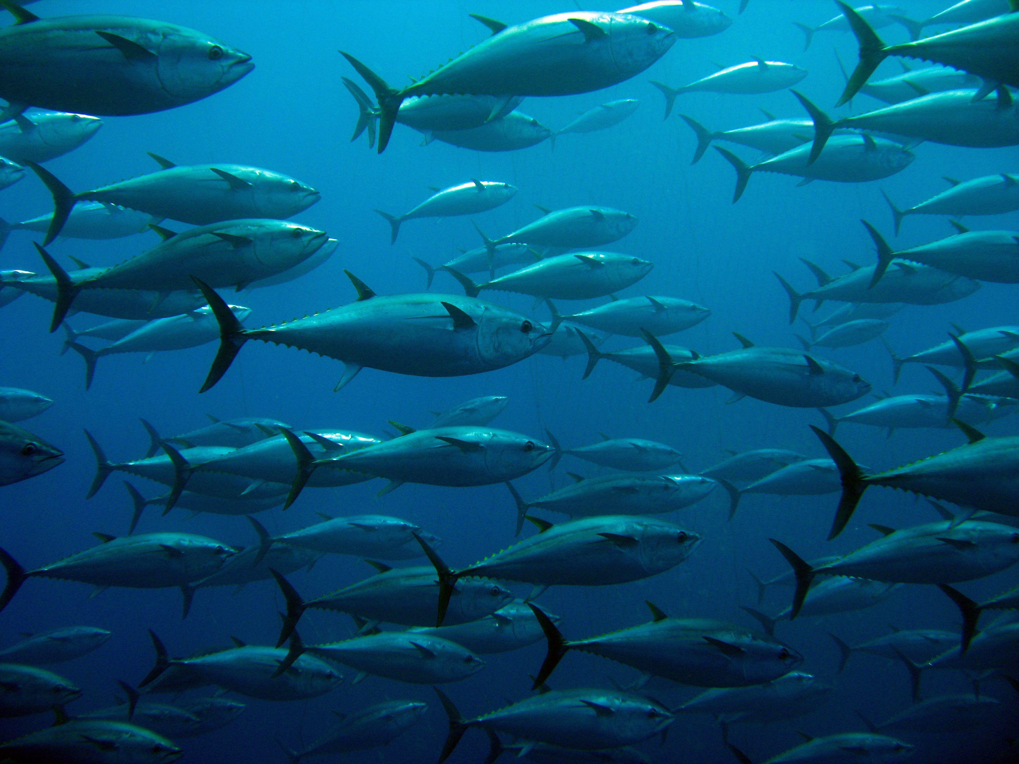Prueba nuestro atún recién pescado