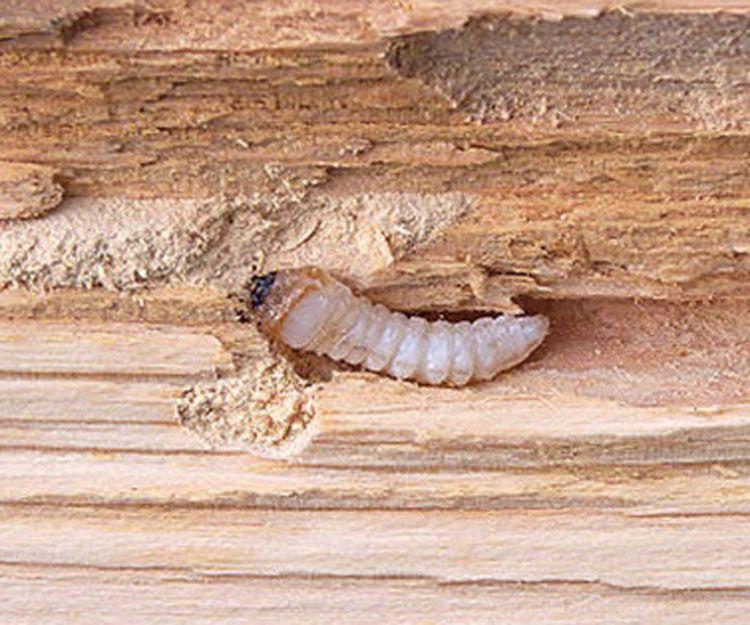 Tratamientos contra plagas en la madera