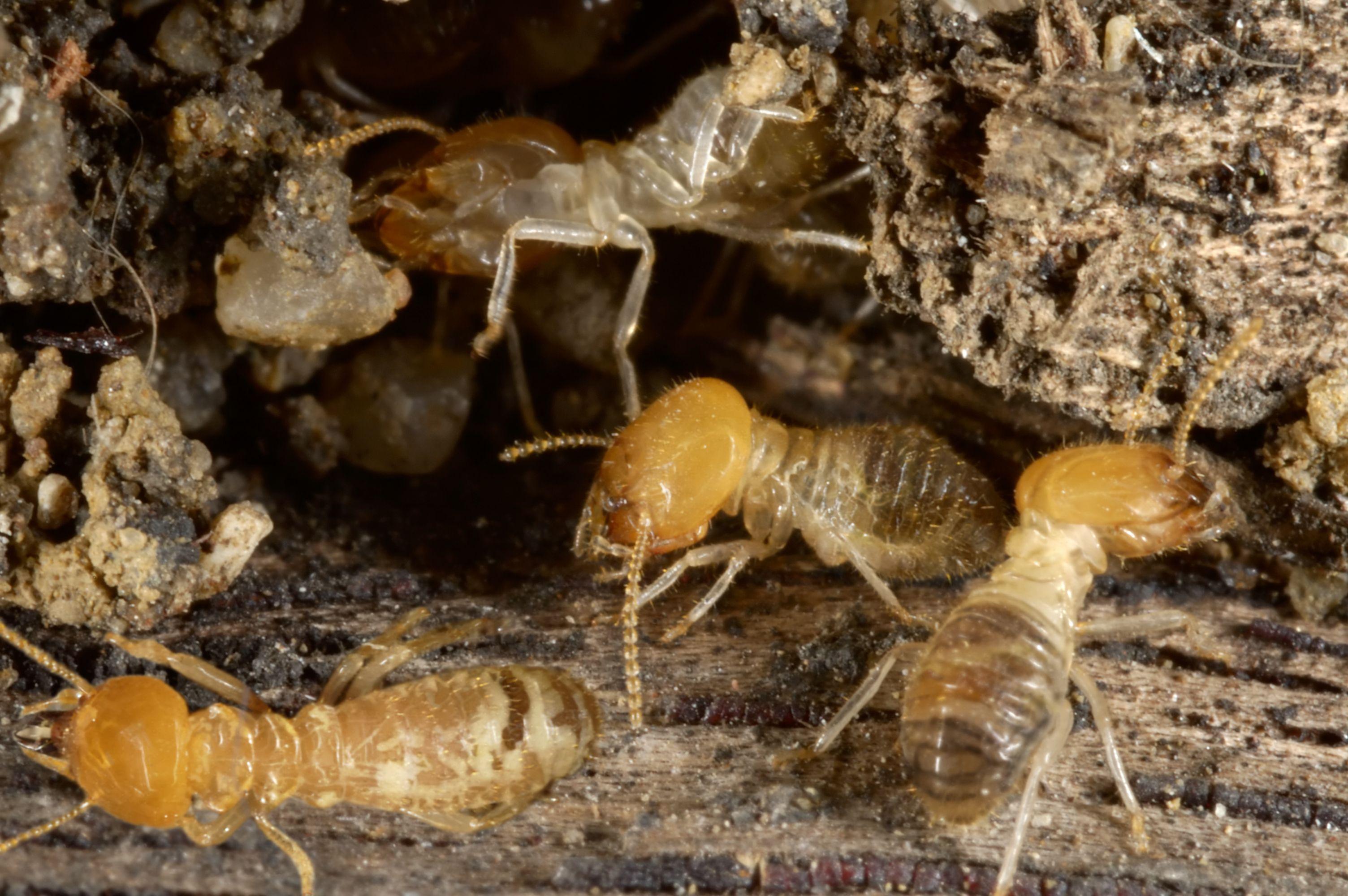 Tratamientos para las termitas de la madera en Valencia