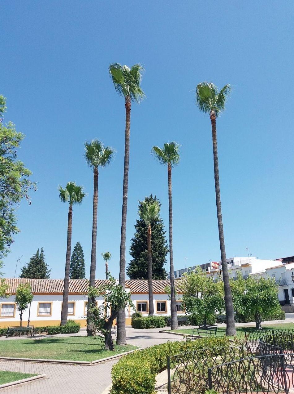 Poda de palmeras en Rociana del Condado