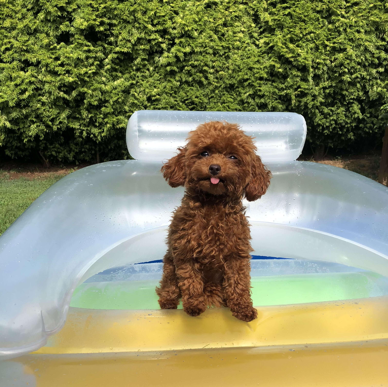 Caniche Toy: Nuestros perritos de Criadero Pappo's Luz