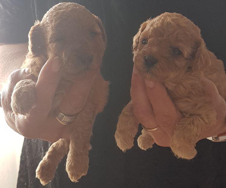 Cachorros de caniches