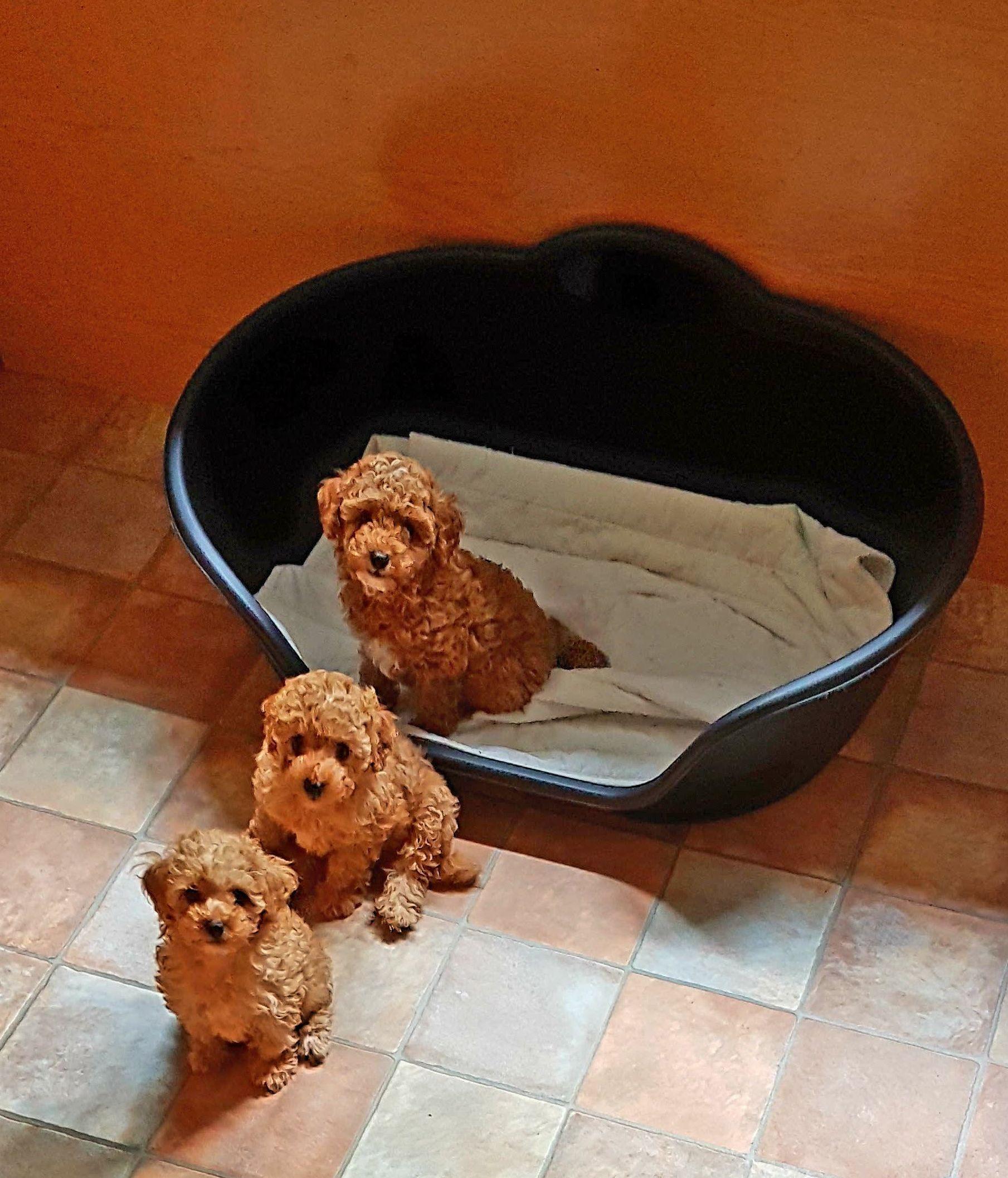 Foto 58 de Cría de Caniche y Yorkshire en Cambre | Criadero Pappo's Luz