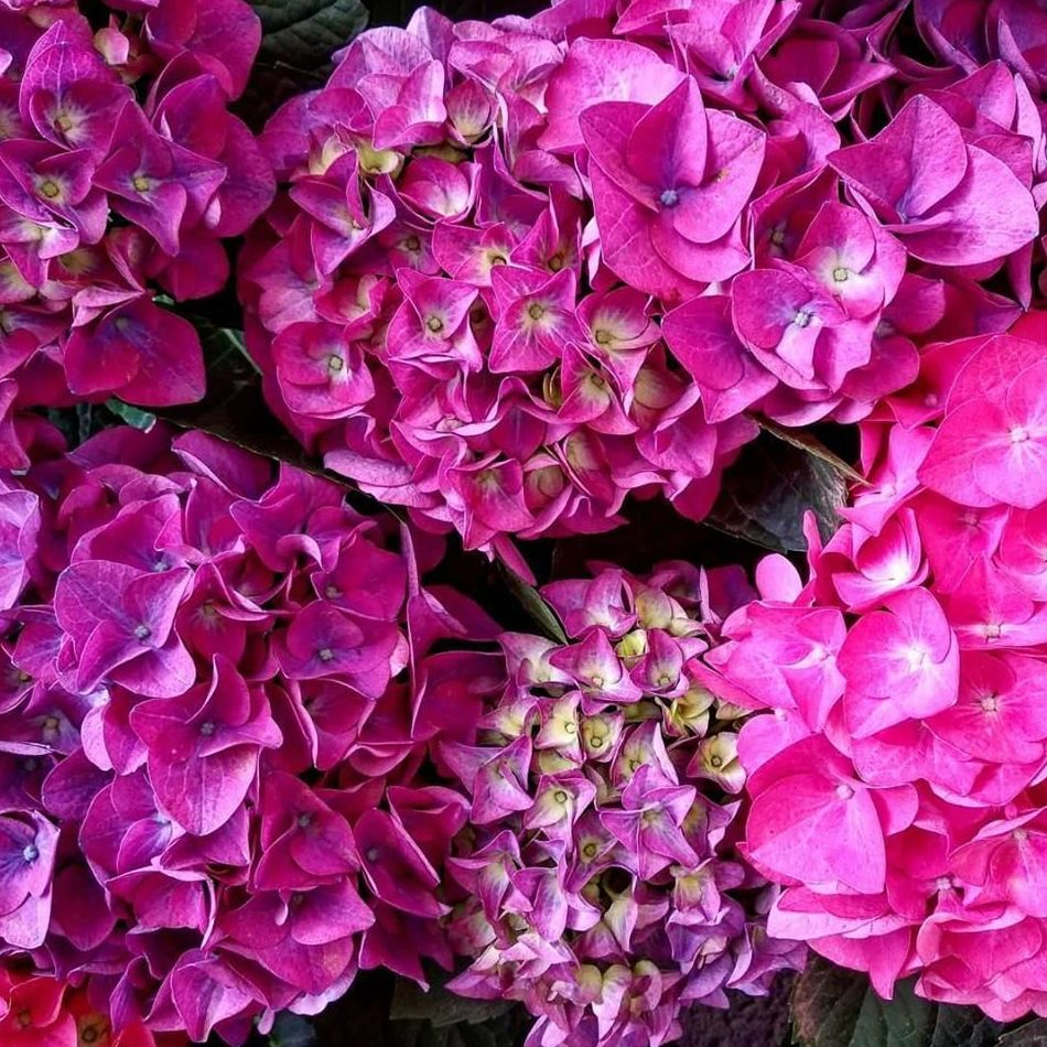 Hortensias y otras flores de temporada en Tenerife