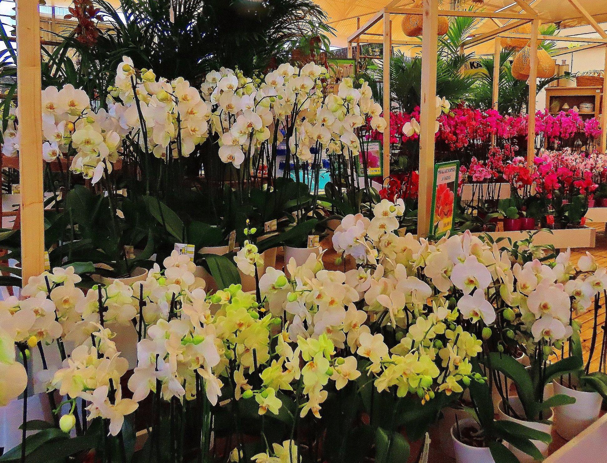 Gran variedad de orquídeas en Tenerife