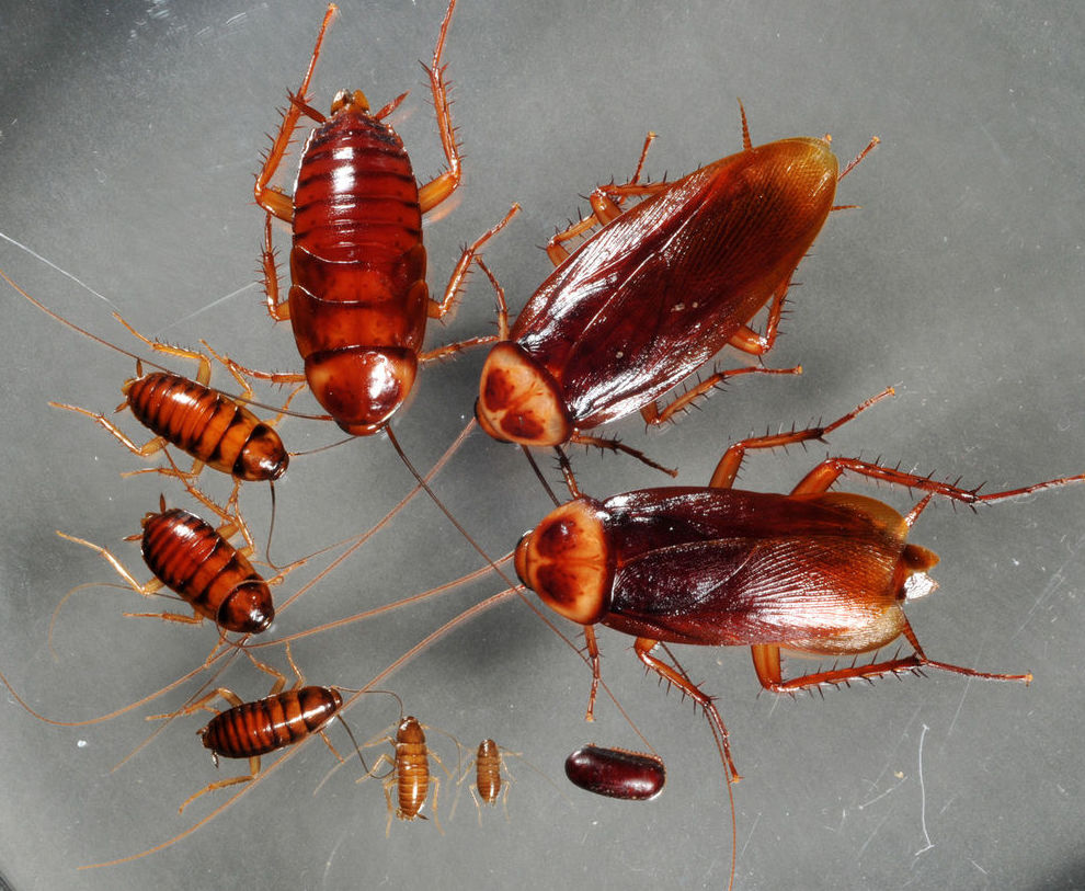 Ciclo de la cucaracha americana