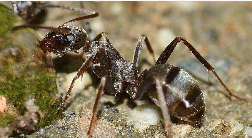 Servicios especializados de eliminación de plagas de hormigas