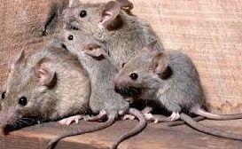Eliminar ratones en Barcelona
