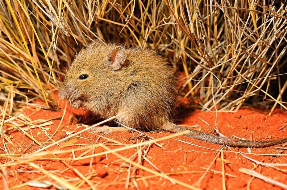 roedor desierto