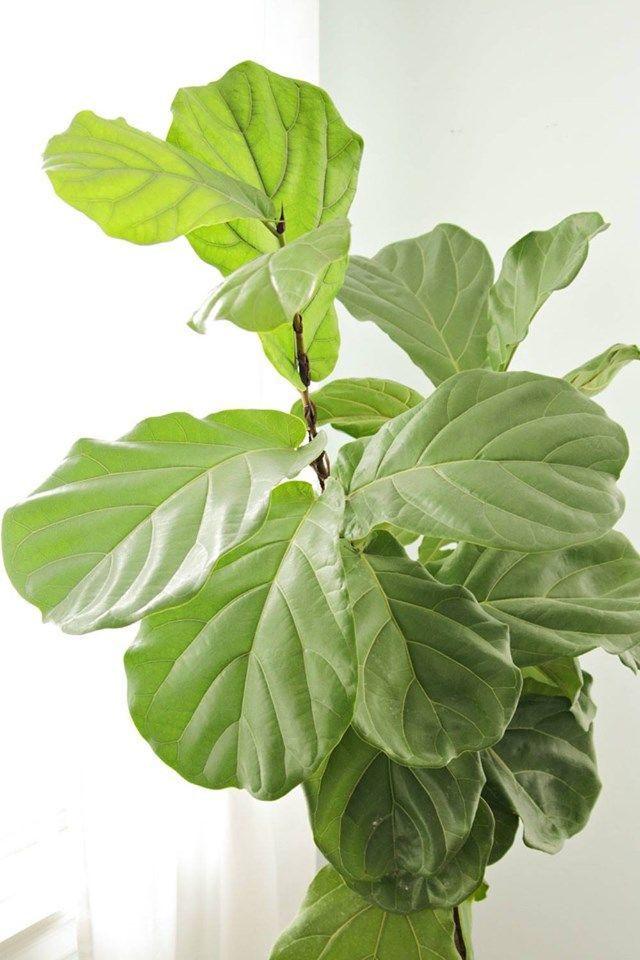 Ficus Lyrata, si la tienes en casa debes saber que al ficus le gustan los espacios Luminosos, sin embargo no toleran la luz directa