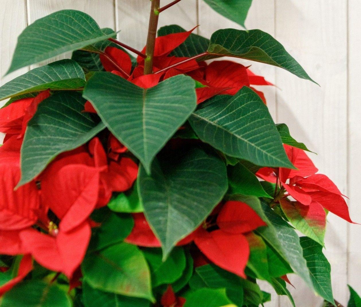 La Poisenttia vuelve a casa en Navidad. La Euphorbia pulcherrima es la planta interior navideña por excelencia y es que su clásico color rojo puede durarte mucho tiempo si la tratas adecuadamente