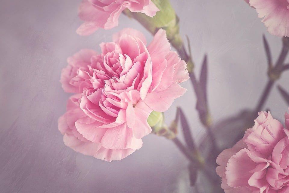 Los claveles son muy apreciados por su hermoso color y por su delicada forma. Además, dependiendo de su color simbolizan algo diferente. Los rosados representan de manera tierna el amor de una mujer o de una madre