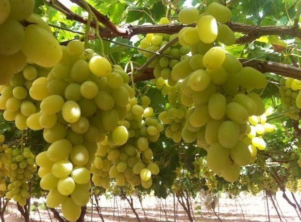 Uvas: Servicios de Frutas Maripí