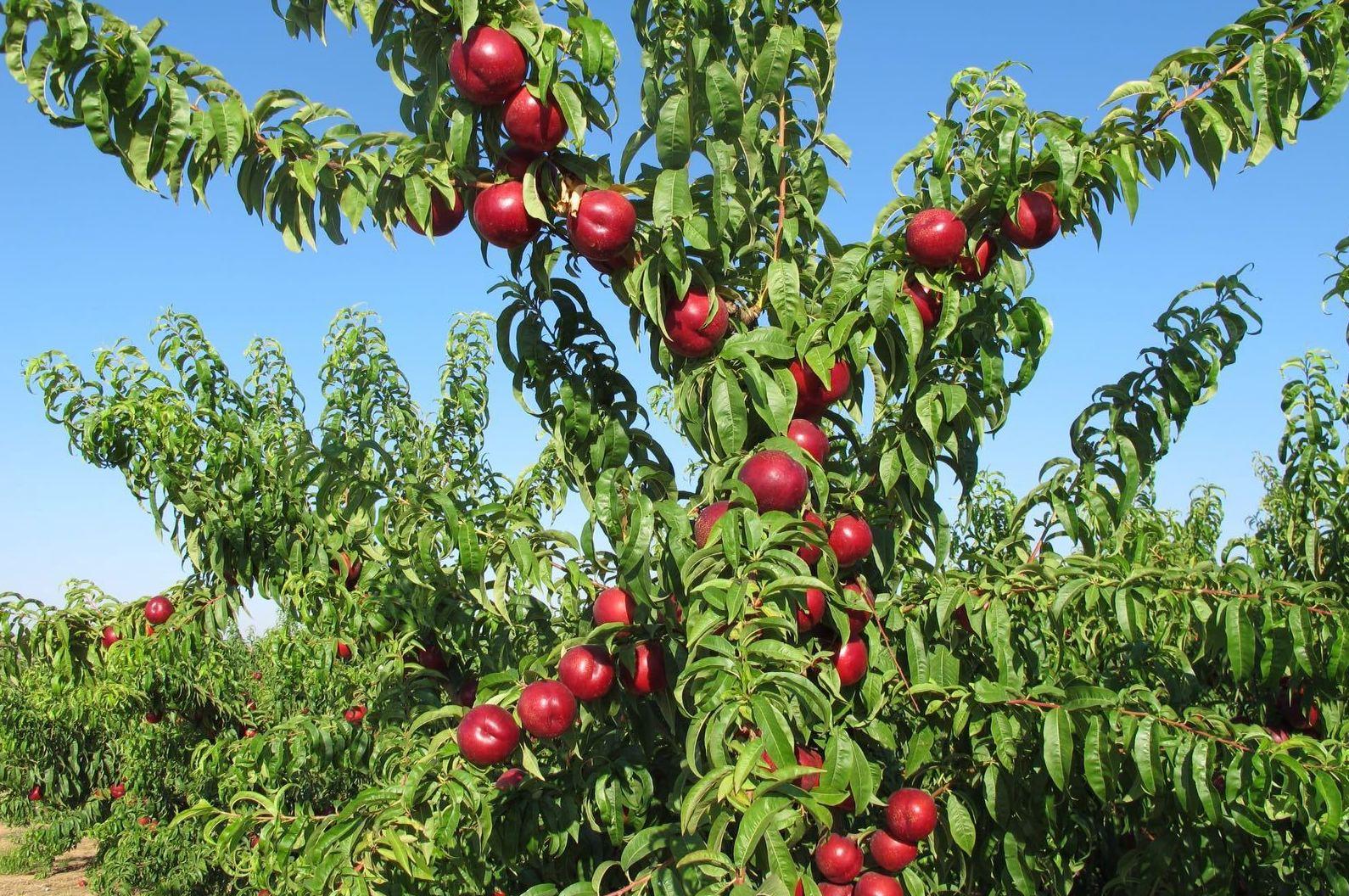 Foto 4 de Producción de frutas en Murcia | Frutas Maripí