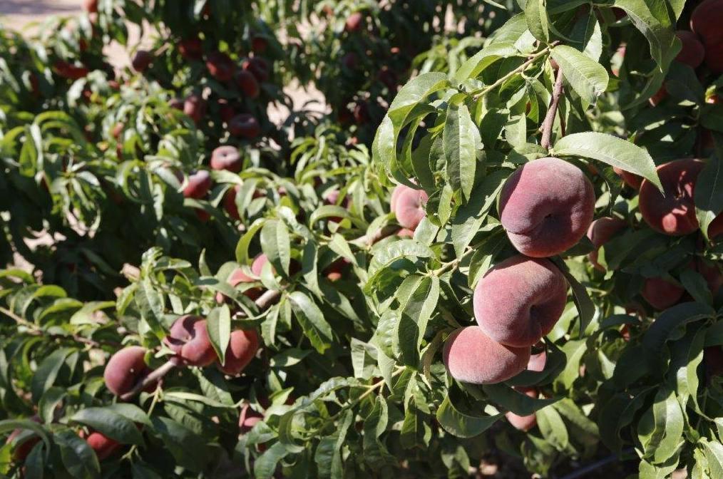 Foto 7 de Producción de frutas en Murcia | Frutas Maripí