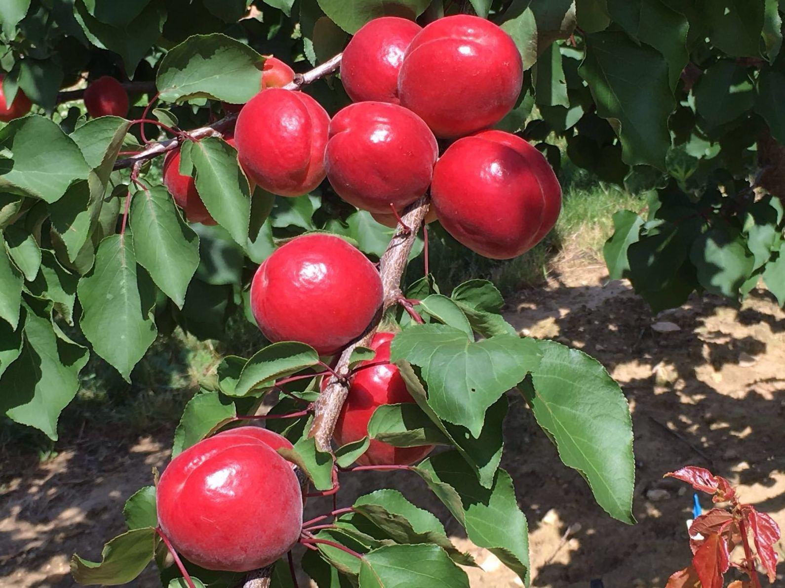 Foto 9 de Producción de frutas en Murcia | Frutas Maripí