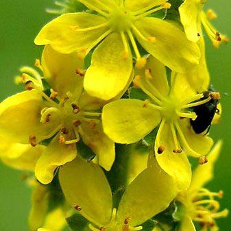 Agrimonia: Productos de Herboristería Leizuri