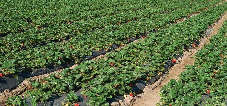 Plantas de fresa Segovia