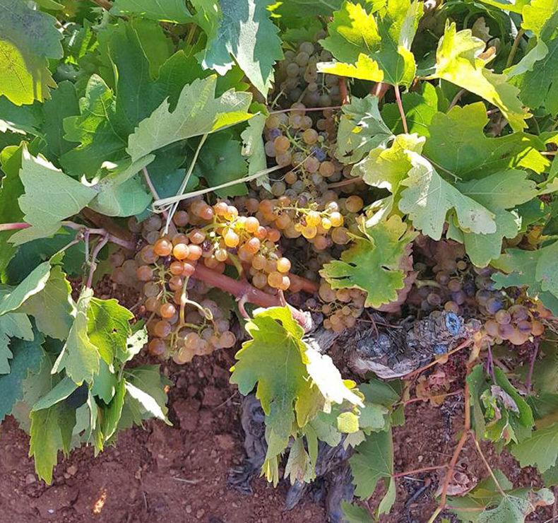 Uva blanca para realizar nuestro vino