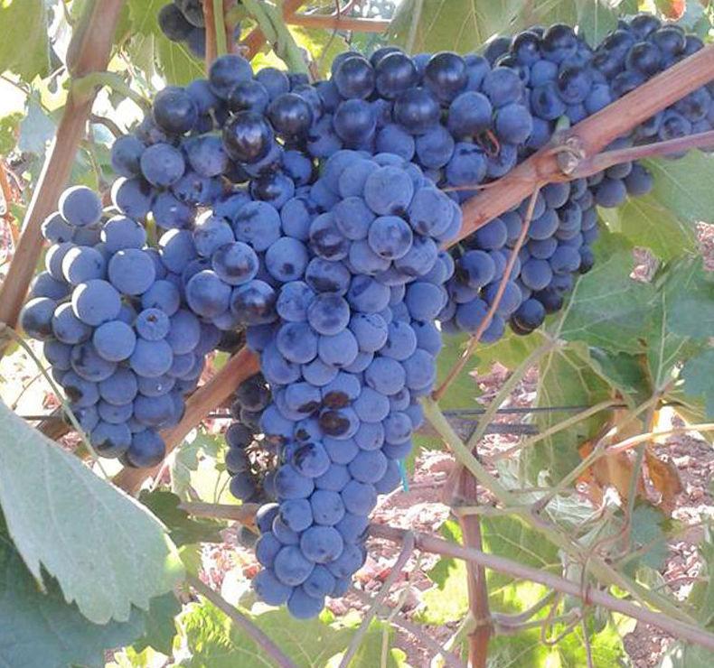 Racimo de uva para nuestro tinto